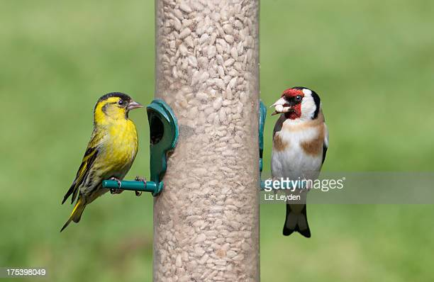 male siskin and goldfinch on seed feeder - swallow bird stock pictures, royalty-free photos & images