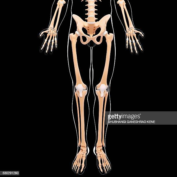 Male skeleton, computer artwork.