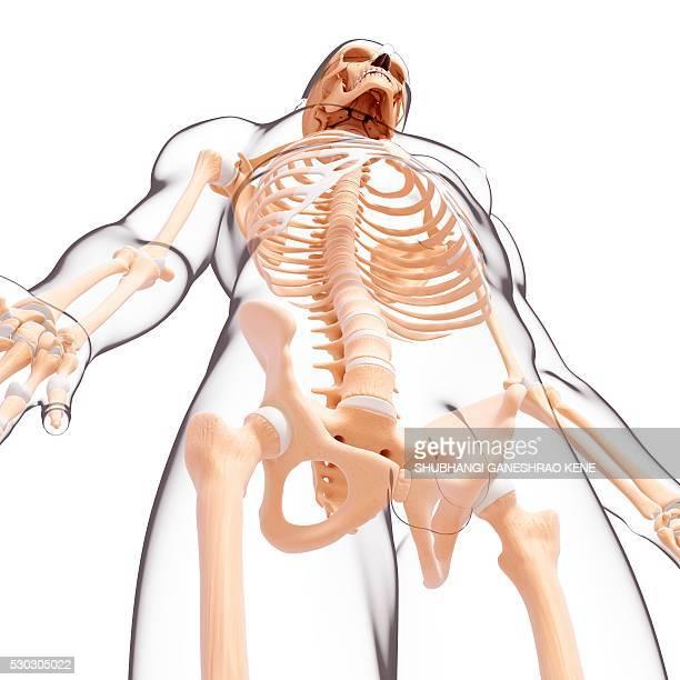 male skeleton, computer artwork. - femur fotografías e imágenes de stock