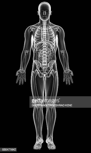 male skeleton, computer artwork. - male likeness stock pictures, royalty-free photos & images
