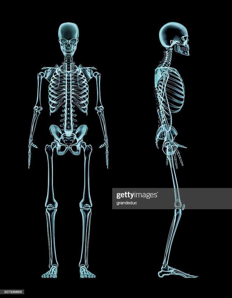 Männliche Skelett Ganzkörper Xray Stock-Foto   Getty Images