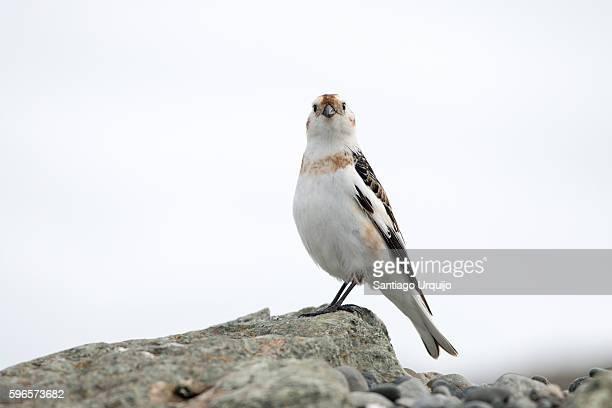 Male snow bunting (Plectrophenax nivalis)