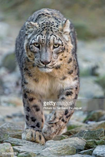 Male snow leopard approaching