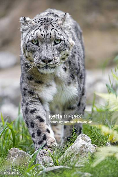 Male snow leopard walking towards the camera