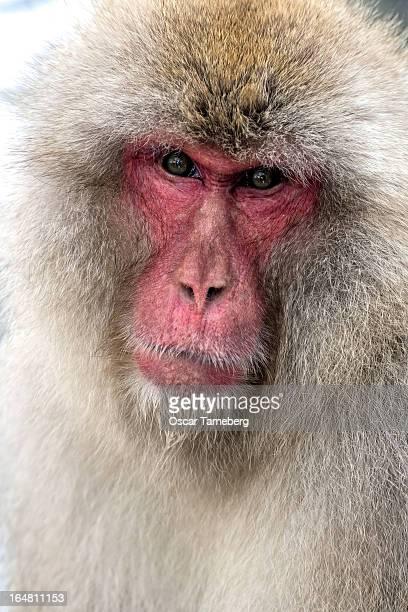 Male snow monkey