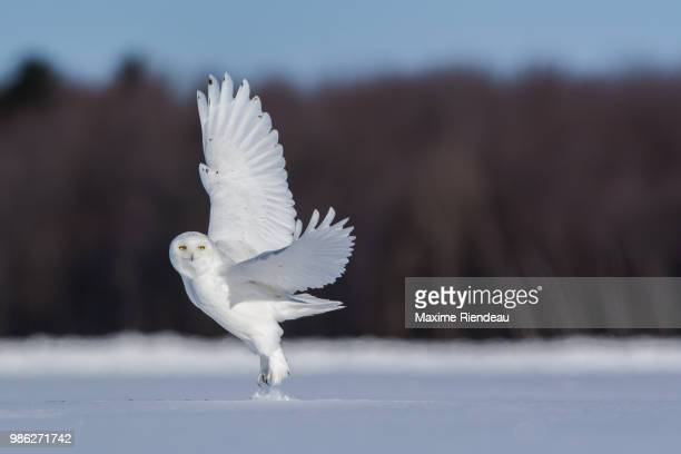 male snowy owl - snowy owl stock pictures, royalty-free photos & images