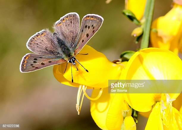 male sooty copper (lycaena tityrus) - すす ストックフォトと画像
