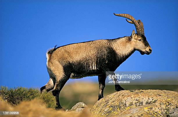 Male Spanish Ibex, Capra pyrenaica victoriae, during courtship display, Spain
