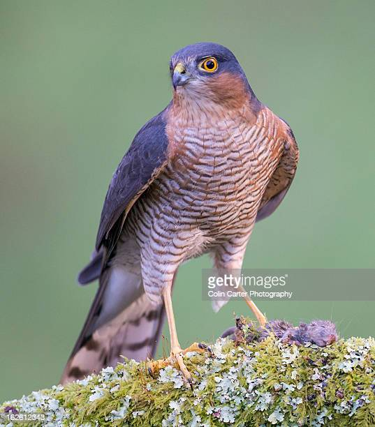 Male Sparrowhawk 10