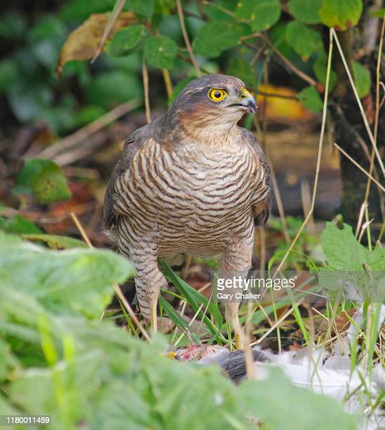 male sparrowhawk [accipiter nisus] - sparrow hawk stock pictures, royalty-free photos & images