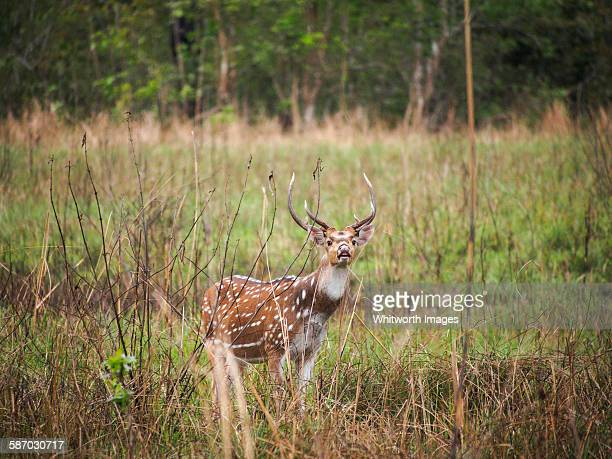male spotted deer or chital in bardiya, nepal - terai stock pictures, royalty-free photos & images