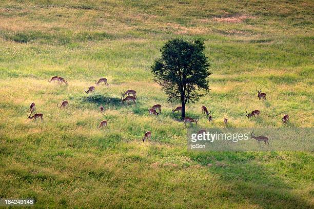 male springbok (antidorcas marsupialis) grazesing - east africa stock pictures, royalty-free photos & images