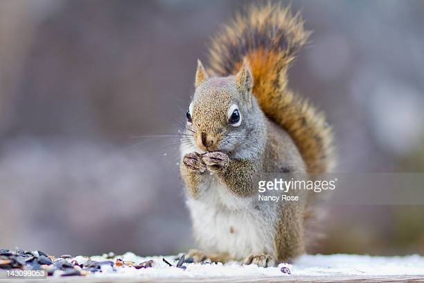 male squirrel - american red squirrel stock photos and pictures