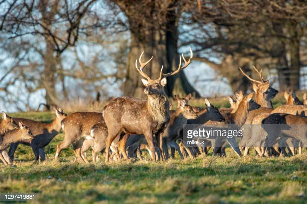 male stag and herd of female deer in uk countryside - herbivorous stock pictures, royalty-free photos & images