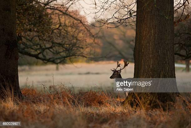 a male stag fallow deer, dama dama, in londons richmond park. - alex saberi stockfoto's en -beelden