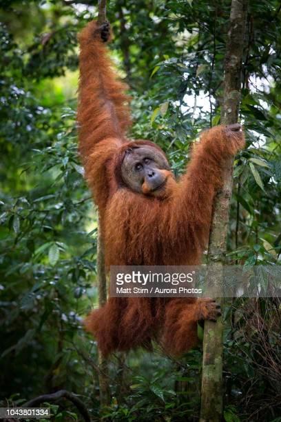 Male Sumatran orangutan (Pongo abelii) walking in forest