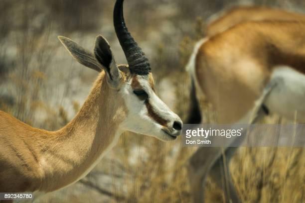 "male thomson""u2019s gazelle - don smith imagens e fotografias de stock"