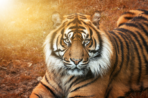 Male tiger at golden sunset from the portrait with intense eyes 912682954