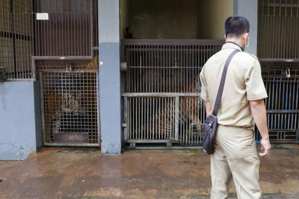 IDN: Sumatran Tigers Recover From Covid-19