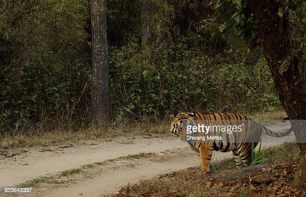 male tiger marking territory - territory stock pictures, royalty-free photos & images