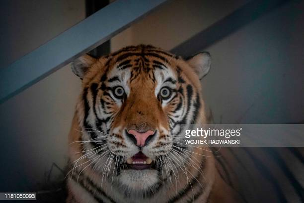 Male tiger Samson one of the tigers that were seized on the PolishBelarusian border is seen in its temporary enclosure at the zoo in Poznan Poland on...