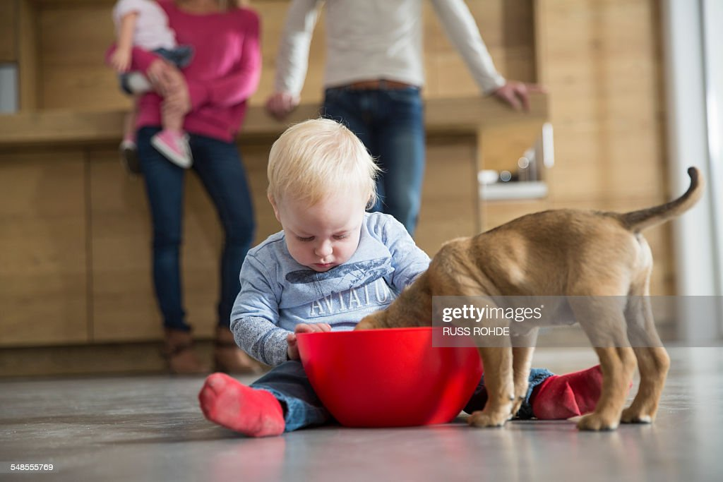 Male toddler watching puppy feeding from bowl in dining room : Stock Photo