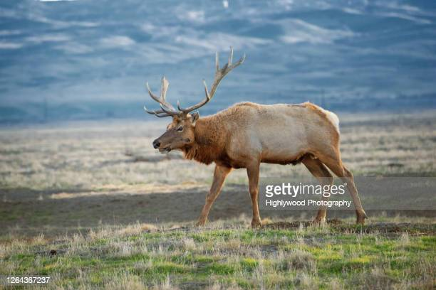 male tule elk chews grass - highlywood stock pictures, royalty-free photos & images