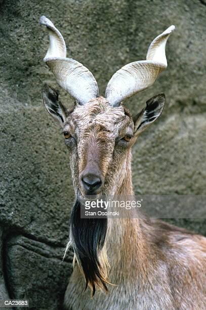 Male turkomen markhor, close-up