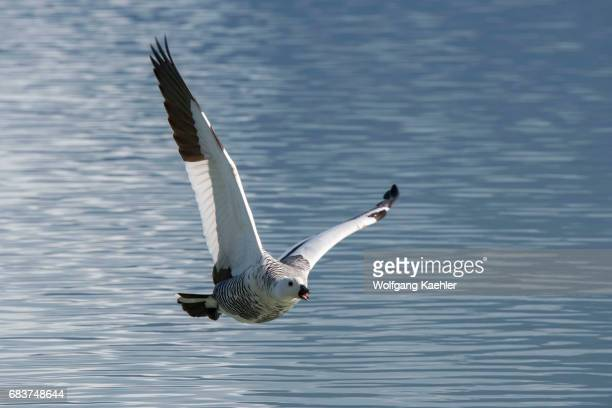 A male Upland goose or Magellan Goose in flight in Torres del Paine National Park in southern Chile