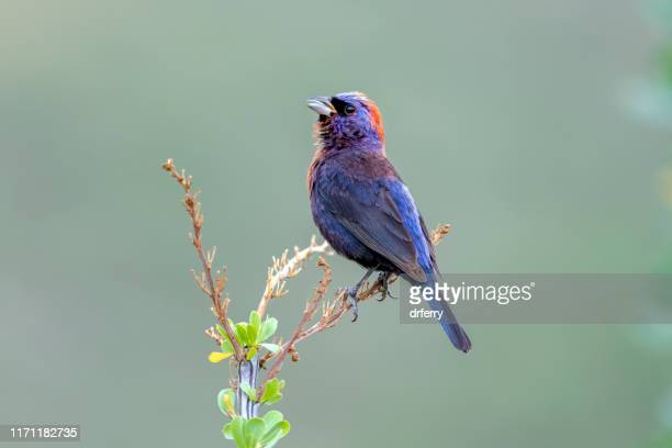 male varied bunting, arizona - bunting stock pictures, royalty-free photos & images
