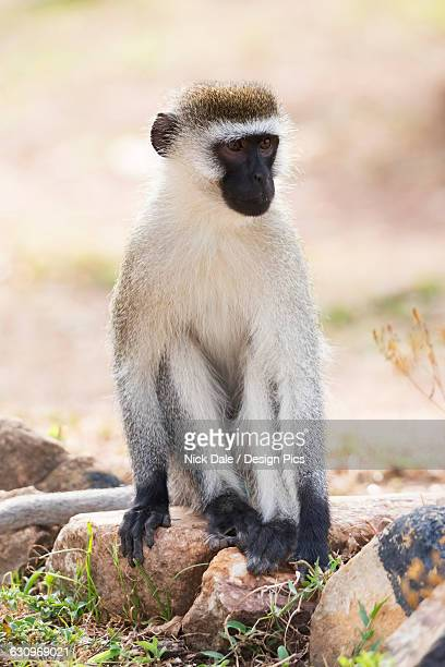 A male vervet monkey sitting on rocks in a dusty patch of ground with a few tufts of grass on it, he has a black face and paws and grey and brown fur