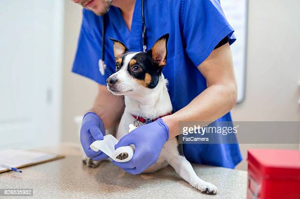 Male veterinarian wrapping a small dogs paw with gauze