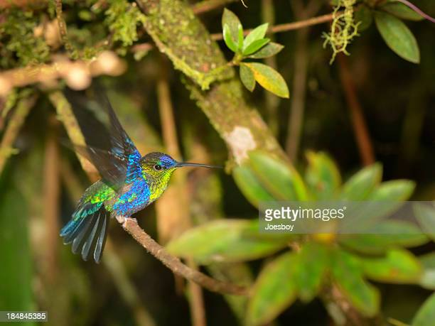 male violet-crowned woodnymph, thalurania colombica - tropical bird stock pictures, royalty-free photos & images