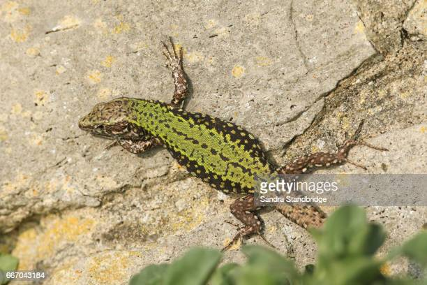 A male Wall Lizard (Podarcis muralis) warming up on a stone wall.