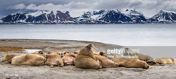 male walrus colony - walrus stock photos and pictures