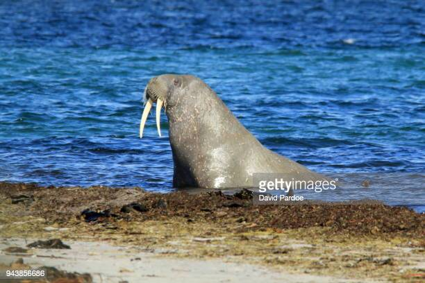 A male Walrus emerges onto the shore from the sea
