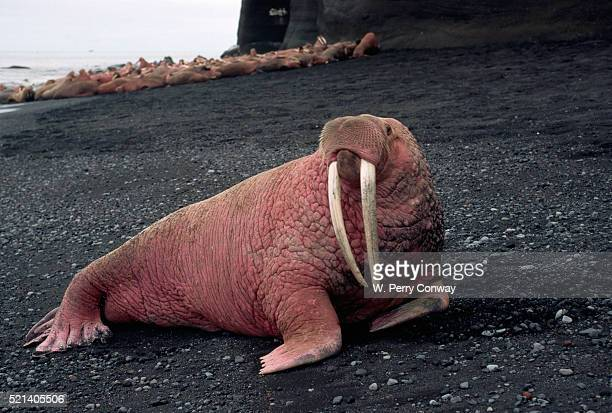 male walrus with tusks - walrus stock photos and pictures