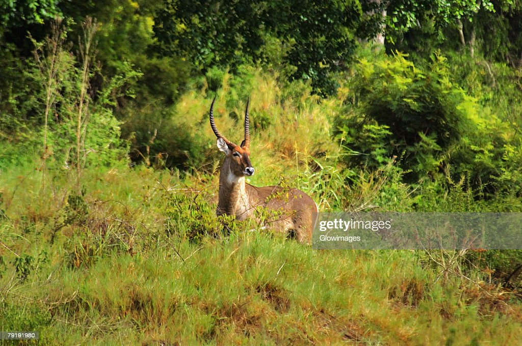 Male waterbuck (Kobus ellipsiprymnus) in a forest, Kruger National Park, Mpumalanga Province, South Africa : Stock Photo