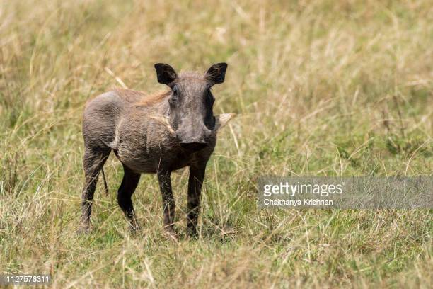 a male wathog standing firmly on the ground inside masai mara national reserve during a wildlife safari - facocero foto e immagini stock