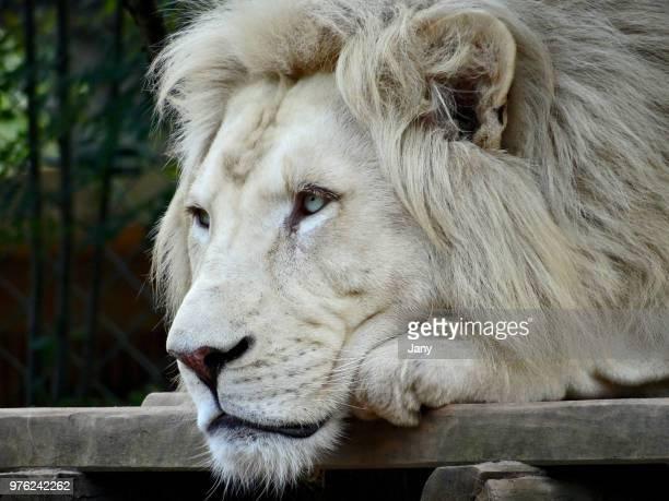male white lion (panthera leo krugeri), france - white lion - fotografias e filmes do acervo