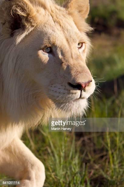 Male White Lion(Panthera leo).South Africa