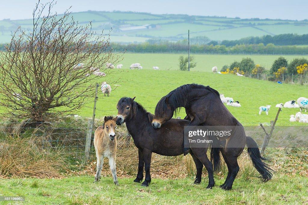 Wild Ponies Mating on Exmoor, UK : Fotografia de notícias