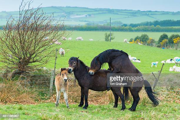 Male wild Exmoor stallion pony Equus caballus mating with mare on moorland in Exmoor National Park Somerset United Kingdom