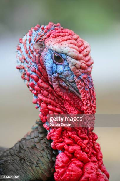 male wild turkey - ugly turkey stock photos and pictures