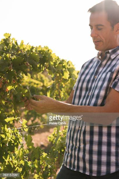 Male winemaker tending grapes in vineyard, Las Palmas, Gran Canaria, Spain