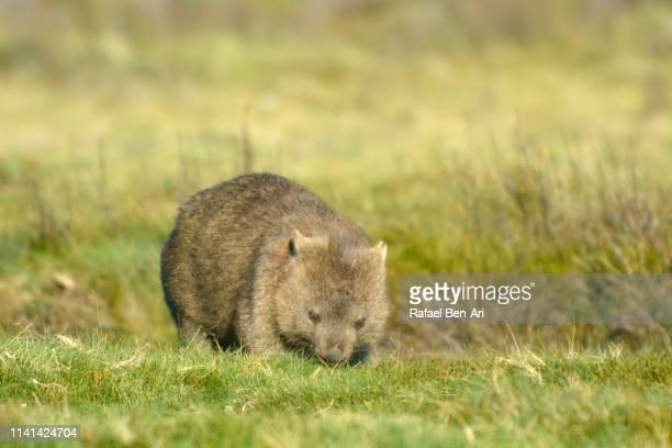 male wombat eating grass in tasmania australia - rafael ben ari stock-fotos und bilder