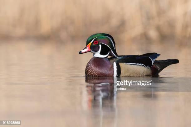 Male wood duck, aix sponsa, in springtime