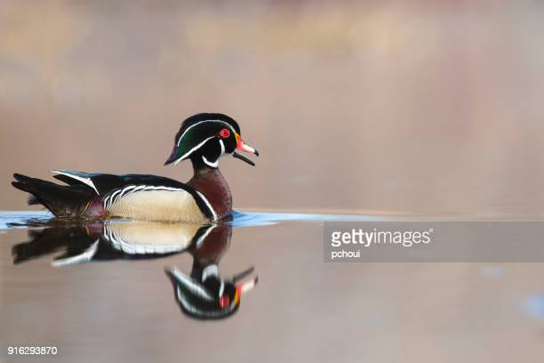 Male wood duck, aix sponsa.