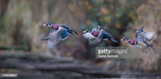 male wood ducks (aix sponsa) flying over marsh, washington state, usa - sponsa stock photos and pictures
