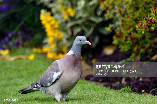 male woodpigeon (columba palumbus) - pigeon stock pictures, royalty-free photos & images
